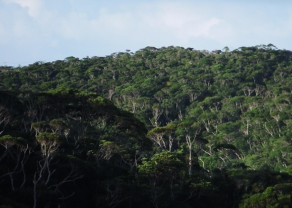 Yanbaru forestA